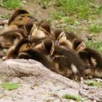 Baby Ducks Cuddling
