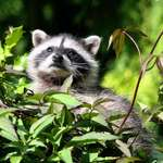 Baby Raccoon in high places
