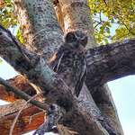 Owls -Can U  see HOOO's watching young owl??