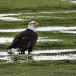 Bald Eagle in local field