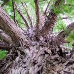 Baldcypress, common