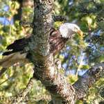 Bald Eagle with prey, from a distance,In the Wild in our area