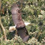 Bald Eagle - huge wingspan