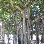 Banyan in Oahu
