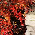 Barberry In November (2)