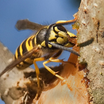 Bark stripping yellowjacket