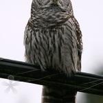 Barred Owl - Evening Visitor