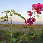 Beach Flowers - wild sweet peas