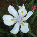 White Iris