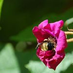 Bee my Rose