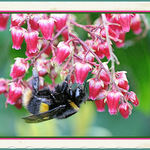 Bee On Pieris Flowers