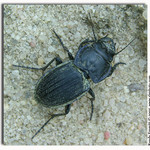 Big Beetle
