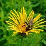 Elecampane and bee