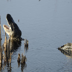 Bellowing Gator