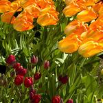 Bent Tulips