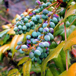 Berries Watermarked