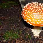 big & small toadstools/some call mushrooms