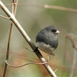 Junco