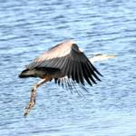 heron take off 2