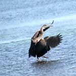 heron landing