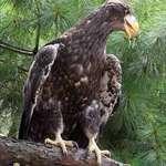 Stellers Sea Eagle 3