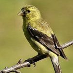 Female finch