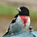 Rosebreasted grosbeak