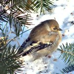 Finch in snow