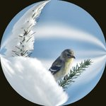 Finch in circle