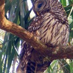 Barred Owl near Ocklawaha, FL