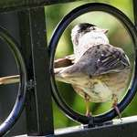 "Bird in Porthole, ""What to Do?"""