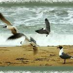 Atlantic Ocean Gulls