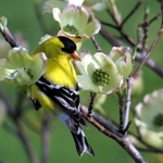 Dogwood Finch
