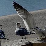 gull gossips