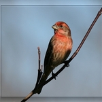 House Finch Ablaze