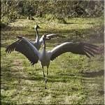 Attack of the killer cranes