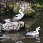 A pair of Smew