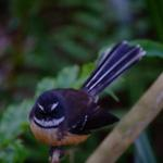Fantail 2
