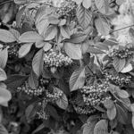 black and white berrys
