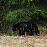 Black Bear in the Spring