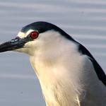 Black Crowned Heron Portrait