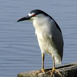 Black Crowned Night Heron 2