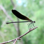 Black Damselfly