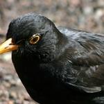 Black Bird Beauty