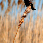 Blackbird on Cattail