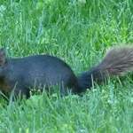 Squirrel in Black