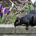 Black Squirrel & Purple Crocus