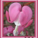 Single bleeding heart