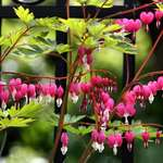 Bleeding Heart fronds by fence