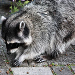 Blind Mama Raccoon